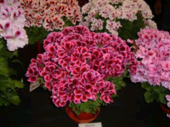 Купить оптом в москве горшочные цветы доставка цветов белые ландиши по москве