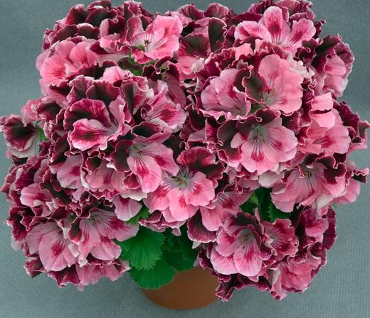 Цветы комнатные. пеларгония